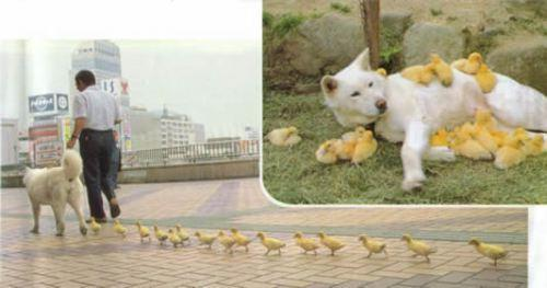 Un chien qui a adopte une portee de poussins - animal love